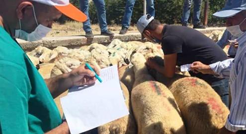 Kaman'da 47 adet Damızlık Koç dağıtımı yapıldı